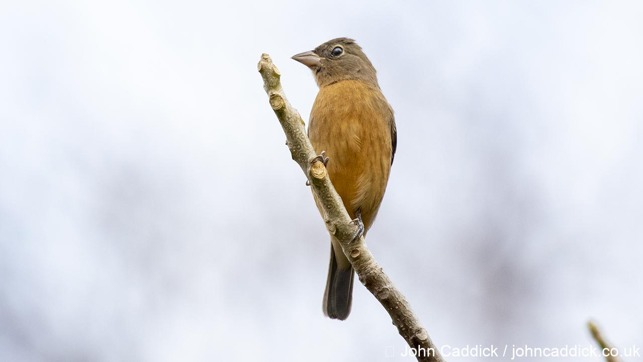 Orange-breasted Bunting juvenile