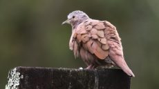 Ruddy Ground Dove male