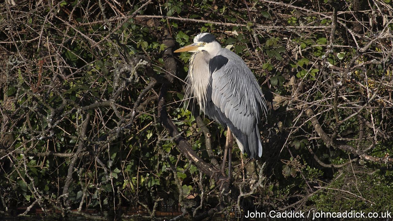 Grey Heron in full breeding plumage