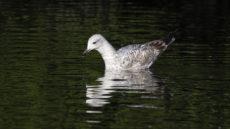 European Herring Gull first year