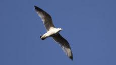 European Herring Gull juvenile in flight