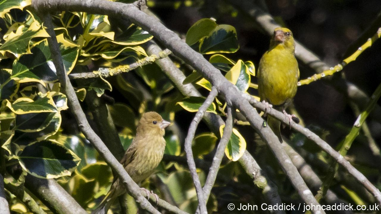European Greenfinch adult male and juvenile